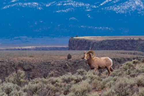 03 05 17 Big Horn Sheep-1824